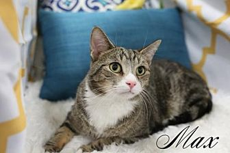 Domestic Shorthair Cat for adoption in Knoxville, Tennessee - Max Male