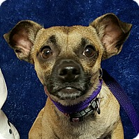 Chihuahua/Pug Mix Dog for adoption in Yucaipa, California - Chuck