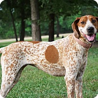 Adopt A Pet :: *Candace - PENDING - Westport, CT