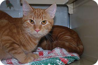 Domestic Shorthair Cat for adoption in New Castle, Pennsylvania - Alex