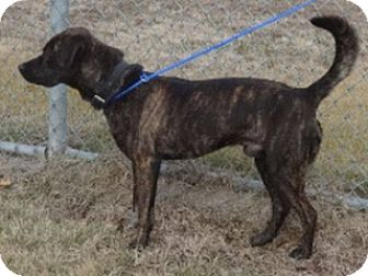 Black Mouth Cur/American Pit Bull Terrier Mix Dog for adoption in Olive Branch, Mississippi - Bear