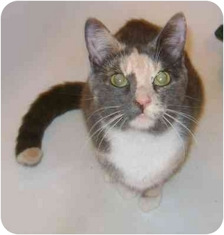 Domestic Shorthair Cat for adoption in Etobicoke, Ontario - Janis