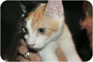 Calico Kitten for adoption in McDonough, Georgia - Lily