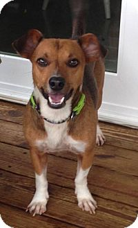 Jack Russell Terrier/Beagle Mix Dog for adoption in Corbin, Kentucky - Rusty
