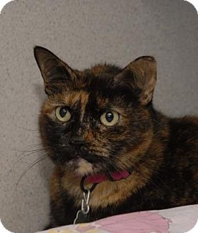 Domestic Shorthair Cat for adoption in Evans, Colorado - Campbell