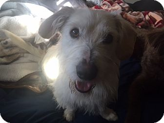 Westie, West Highland White Terrier/Wirehaired Pointing Griffon Mix Dog for adoption in Pasadena, California - Paddington