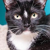 Domestic Mediumhair Cat for adoption in Houston, Texas - Daisy