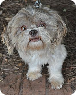 Shih Tzu Dog for adoption in Atlanta, Georgia - Norris