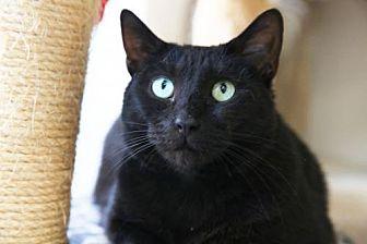 Domestic Shorthair Cat for adoption in Columbus, Ohio - Alexandria