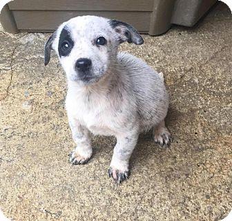 Australian Cattle Dog/Labrador Retriever Mix Puppy for adoption in Charlotte, North Carolina - Cooper
