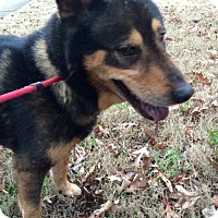 Adopt A Pet :: Chevy (Cat Friendly) - Greeneville, TN
