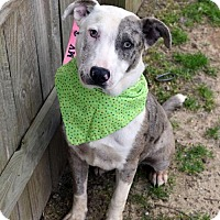 Adopt A Pet :: Marla - ADOPTION PENDING!! - Arlington, VA