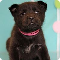 Adopt A Pet :: Storm - Waldorf, MD