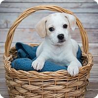 Adopt A Pet :: Royce - Elgin, IL