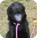 Chow Chow/Labrador Retriever Mix Dog for adoption in Lincolnton, North Carolina - Bear