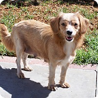 Adopt A Pet :: Paisley - La Habra Heights, CA