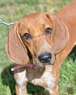 English (Redtick) Coonhound Dog for adoption in Mt. Vernon, Indiana - Tippy