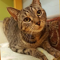 Domestic Shorthair Cat for adoption in Westbury, New York - Lila