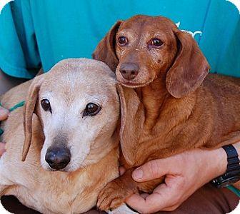Dachshund Mix Dog for adoption in Las Vegas, Nevada - Tamara