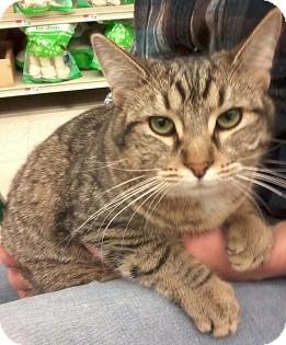 Domestic Shorthair Cat for adoption in Fairborn, Ohio - Annie-Diamond Litter