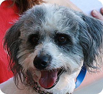 Cockapoo Mix Dog for adoption in Palmdale, California - Barney