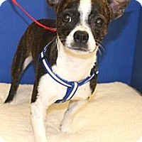 Adopt A Pet :: Beans - Gilbert, AZ