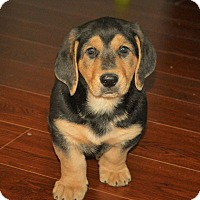 Adopt A Pet :: Fred - Knoxville, TN