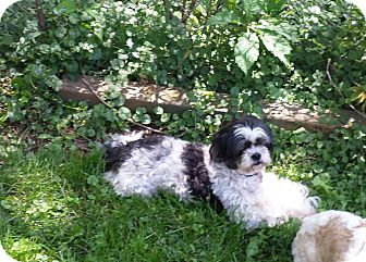 Shih Tzu Dog for adoption in Schofield, Wisconsin - Maxi