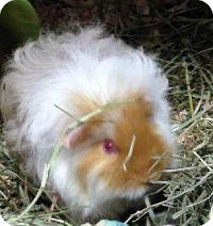 Guinea Pig for adoption in Quilcene, Washington - Saffron