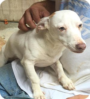 Jack Russell Terrier/Basset Hound Mix Dog for adoption in Charlotte, North Carolina - Lily