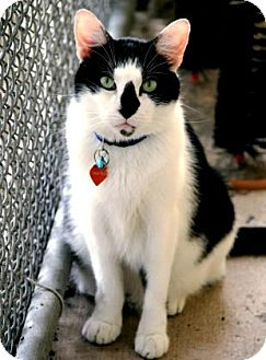 Domestic Shorthair Cat for adoption in Bradenton, Florida - Pistol Pete