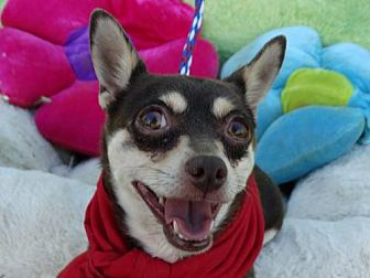 Miniature Pinscher/Chihuahua Mix Dog for adoption in Vacaville, California - Desire
