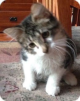 Domestic Shorthair Kitten for adoption in Hillside, Illinois - Isaac- 14-16 WKS - SPECIAL