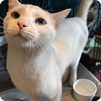Siamese Cat for adoption in Brooklyn, New York - Blue-Eyed Julian! Gorgeous Love Bug!