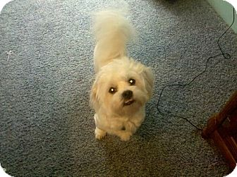 Maltese/Poodle (Miniature) Mix Dog for adoption in Garden City, Michigan - Charlie