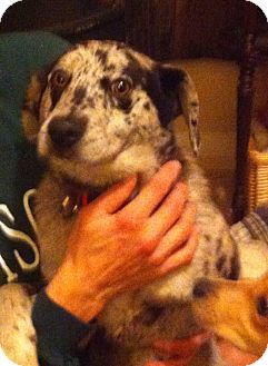 Catahoula Leopard Dog/Hound (Unknown Type) Mix Dog for adoption in McKeesport, Pennsylvania - Mike
