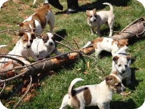 Jack Russell Terrier/Cattle Dog Mix Puppy for adoption in Staunton, Virginia - Jack Russel Mix Puppies