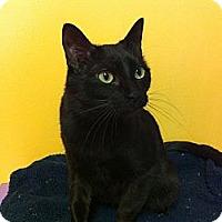 Domestic Shorthair Cat for adoption in Topeka, Kansas - Trixie