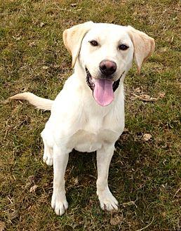 Labrador Retriever Dog for adoption in Long Beach, California - Jolie