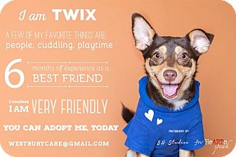 Shepherd (Unknown Type)/Miniature Pinscher Mix Puppy for adoption in Houston, Texas - Twix