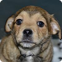 Adopt A Pet :: Cuddles - Meridian, ID