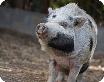 Pig (Potbellied) for adoption in Los Angeles, California - Hammy