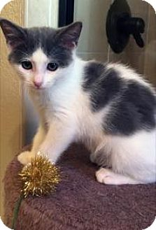 Turkish Van Kitten for adoption in Mission Viejo, California - Michelle