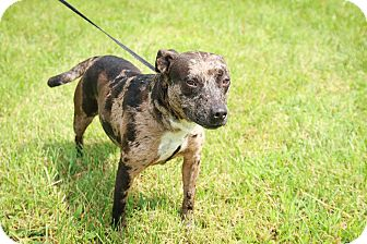 Cattle Dog/Pit Bull Terrier Mix Dog for adoption in Loogootee, Indiana - Ruby-SPONSORED ADOPTION FEE
