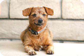 Dachshund Mix Dog for adoption in Coronado, California - Cyrus
