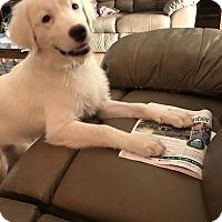 Adopt A Pet :: Snowball - Kyle, TX