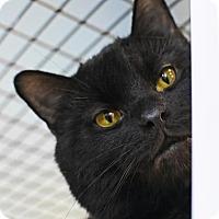 Adopt A Pet :: Sable - Denver, CO