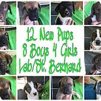 Labrador Retriever/Bernese Mountain Dog Mix Puppy for adoption in Quinlan, Texas - Precious Pups