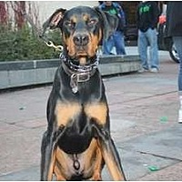 Doberman Pinscher Dog for adoption in Minneapolis, Minnesota - Beau - SPONSORSHIP