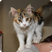 Adopt A Pet :: Patches (Spayed) - Marietta, OH